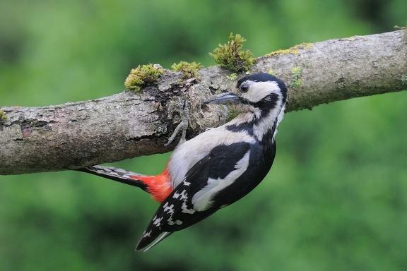 Das Buntspecht Weibchen hat den Ansitzast als Futterplatz für sich entdeckt und stellt eine Kerbe für die Kerne her