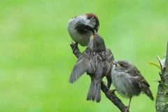 Fütterung der jungen Sperlinge -- Sperlingsfamilie bei der Fütterung