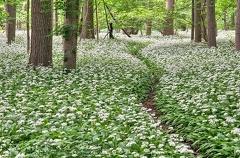 Bärlauch -- Bärlauchpfad in voller Blüte
