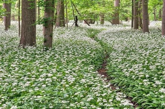 Bärlauchpfad in voller Blüte