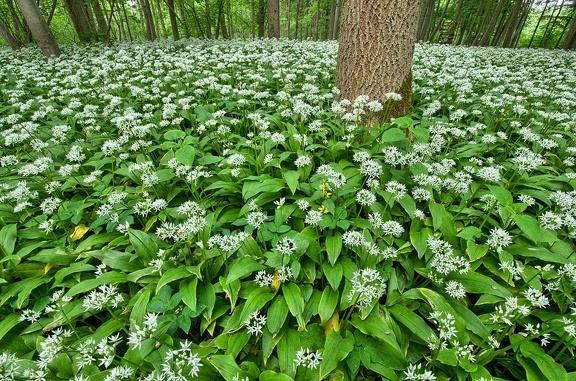 Mitte Mai vereinnahmt der Bärlauch den gesamten Waldboden