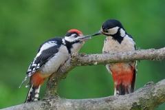 Junger Buntspecht -- Der Buntspechtnachwuchs wird gefüttert