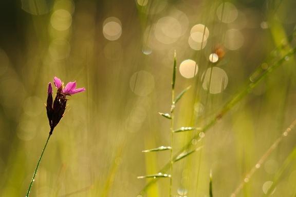Kartäusernelke im Sonnenaufgang