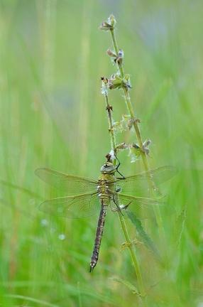 Südliche Mosaikjungfer  (Aeshna affinis) Weibchen Die ideale Sitzposition an einer Blüte findet man leider nur selten bis gar nicht. Lieber haben es die Libellen etwas sicherer Bodennah.