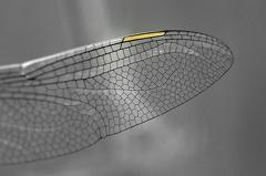 Südliche Mosaikjungfer -- Südliche Mosaikjungfer  (Aeshna affinis) Weibchen