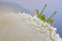 gestreifte Zartschrecke -- gestreifte Zartschrecke (Leptophyes albovittata)