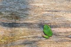 Laubfrosch -- Kleiner Laubfrosch aus 2013