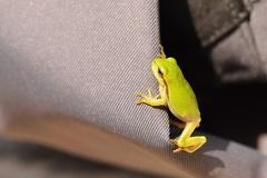 Laubfrosch -- Kleiner Laubfrosch aus 2013 Auch Fototaschen können interessant sein