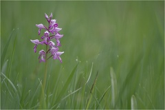 Helm-Knabenkraut (Orchis militaris) -- Helm-Knabenkraut (Orchis militaris)