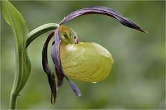 Gelber Frauenschuh (Cypripedium calceolus) -- Gelber Frauenschuh (Cypripedium calceolus)