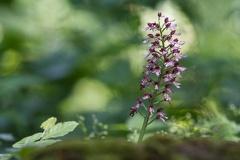 Purpur-Knabenkraut (Orchis purpurea) -- Purpur-Knabenkraut (Orchis purpurea)