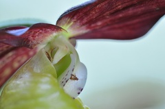 Frauenschuh -- Frauenschuh Cypripedium calceolus