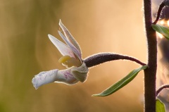 -- Sumpf-Stendelwurz (Epipactis palustris)