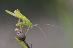 Sichelschrecke -- Gemeine Sichelschrecke (Phaneroptera falcata)