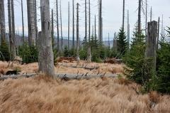 Lusen -- Von Borkenkäfern zerstörte Fichten am Lusen