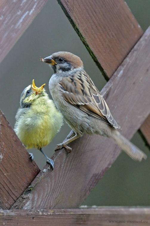 Feldsperling füttert junge Blaumeise - hmmmm lecker Ameise oder so ...