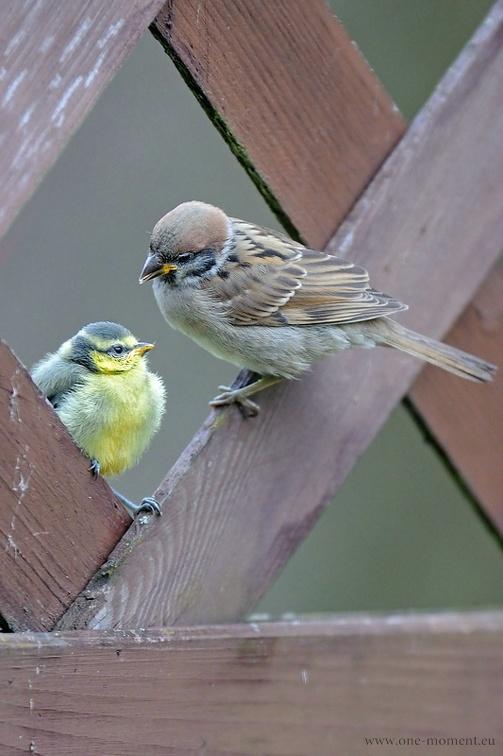 Nachdem die kleine Blaumeise sowohl von dem Sperling als auch von seiner Mutter gefüttert wurde, hat sie zum Schluss noch nicht einmal mehr den Schnabel aufgemacht, so satt war sie