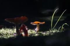 Fliegenpilz (Amanita muscaria) -- Fliegenpilz (Amanita muscaria)