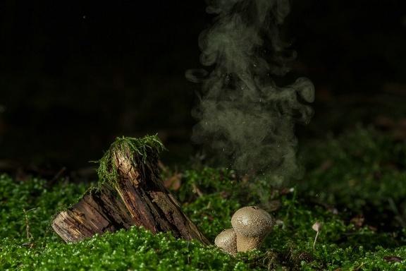 Flaschen-Stäubling (Lycoperdon perlatum)