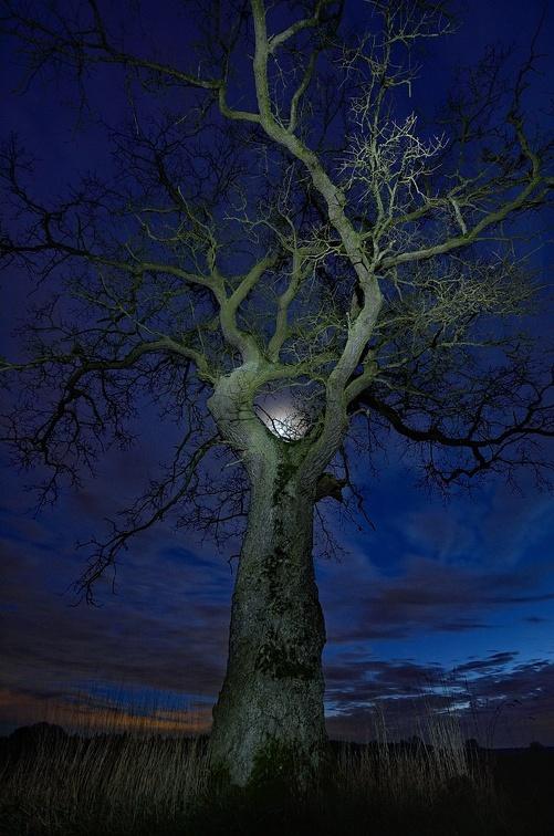 Freistehende Eiche zur blauen Stunde