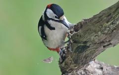 Buntspchecht Männchen -- Auf der Suche nach Larven muss einiges an Holz weichen