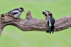 Buntspecht mit Nachwuchs -- Buntspecht mit zwei Jungtieren