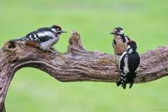 Buntspecht -- Buntspecht mit zwei Jungtieren