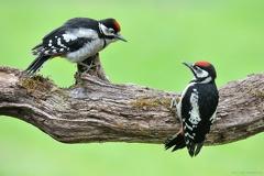 Buntspecht -- Zwei junge Buntspechte