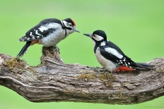 Buntspecht -- Buntspechtweibchen beim füttern
