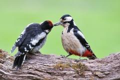 Buntspecht mit Nachwuchs -- Buntspecht beim füttern
