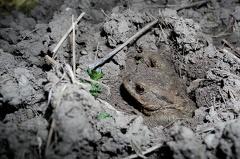Krötenwanderung -- Kröte gräbt sich aus