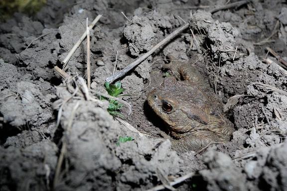 Kröte gräbt sich aus