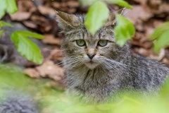 Die Wildkatze hat alles im Blick -- Die Wildkatze hat alles im Blick
