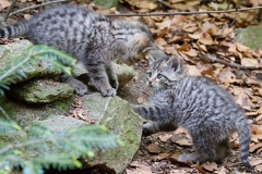 Junge Wildkatzen beim Spielen -- Junge Wildkatzen beim Spielen