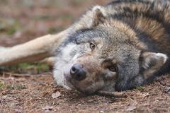 Wolf - Wildpark Poing