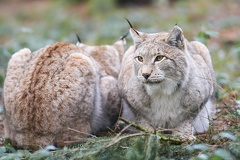 Wolf - Wildpark Poing -- Luchs - Wildpark Poing