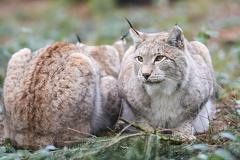 Wolf - Wildpark Poing -- Luchs - Wildpark Poing