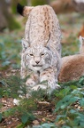 Luchs - Wildpark Poing