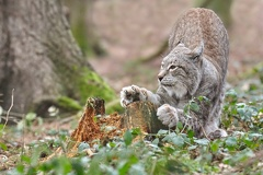 Luchs - Wildpark Poing -- Luchs - Wildpark Poing
