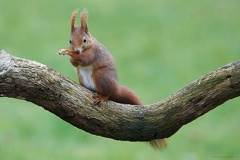 Eichhörnchen -- Eichhörnchen