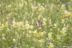 Brand-Knabenkraut (Orchis ustulata) -- Brand-Knabenkraut (Orchis ustulata)