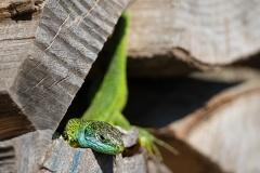 Smaragdeidechse (Lacerta bilineata) -- Smaragdeidechse (Lacerta bilineata)