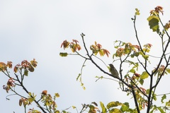 Wiesenpieper (Anthus pratensis) -- Wiesenpieper (Anthus pratensis)