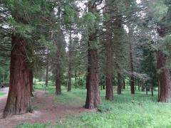 -- Mammutbäume im Kaiserstuhl