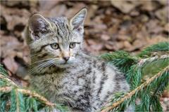 Junge Wildkatze -- Junge Wildkatze