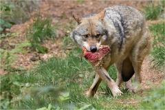 Wolf -- Wolf