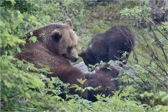 Mutter Braunbär -- Mutter Braunbär