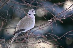 2016-01-17 100737 WBO 1216 1200 -- Die Türkentauben (Streptopelia decaocto) sind auch ein ständiger Gast im Garten