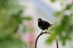 2016-07-17 093407 WBO 6271 3 1200 01 -- Die Amsel ist nicht aus dem Garten wegzudenken. Der eigentliche Waldvogel hat Gärten für sich entdeckt.