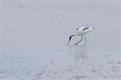 Säbelschnäbler (Recurvirostra avosetta) -- Säbelschnäbler (Recurvirostra avosetta)